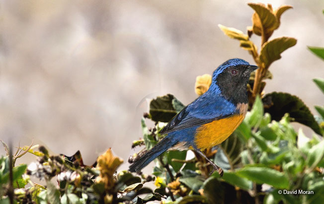 buff-breasted_mountain-tanager
