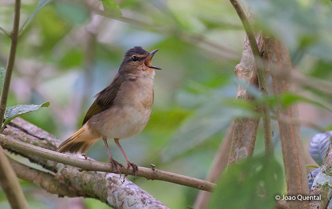 buff-rumped_warbler