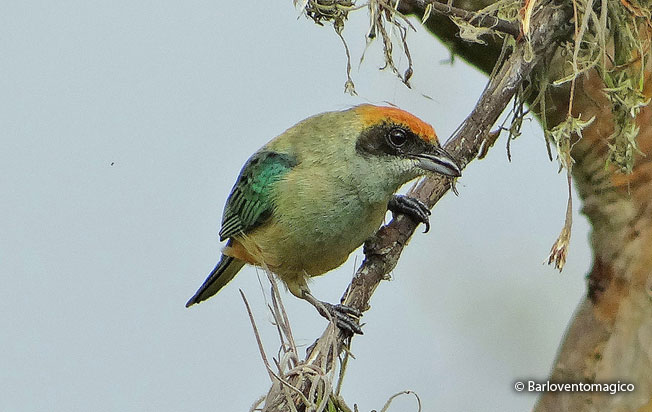 burnished_buff_tanager