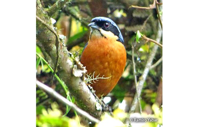 chestnut-bellied_mountain-tanager
