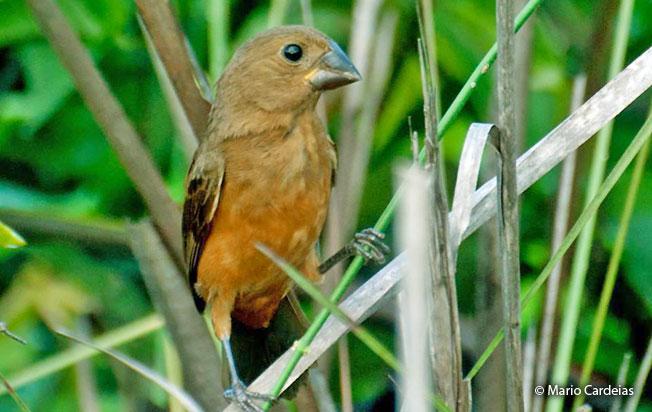 chestnut-bellied_seed-finch