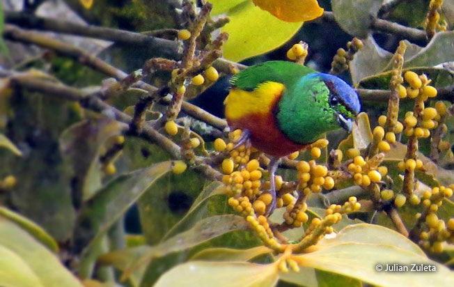 chestnut-breasted_chlorophonia