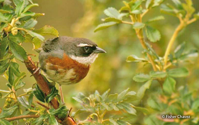 chestnut-breasted_mountain-finch