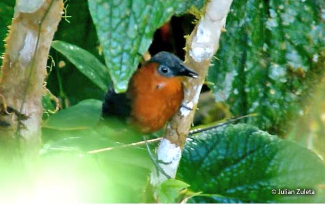 chestnut-breasted_wren