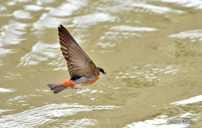 chestnut-collared_swallow