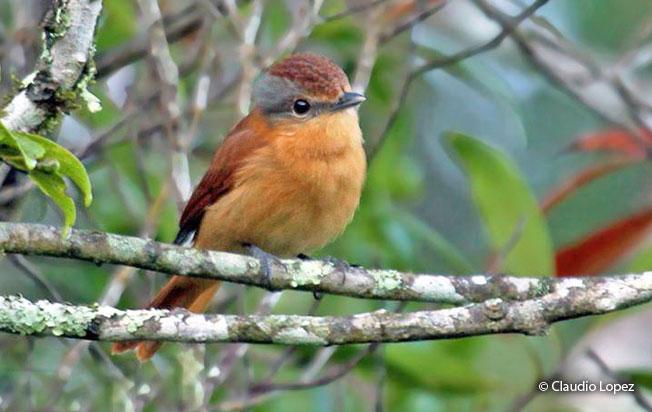 chestnut-crowned_becard