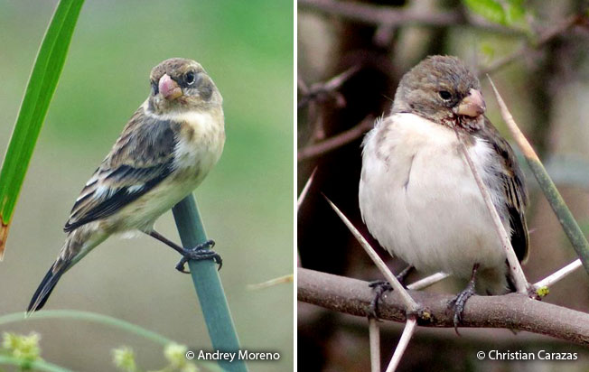 chestnut-throated-seedeater