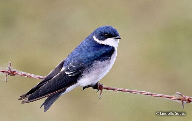 chilean_swallow