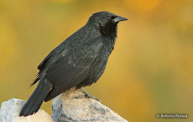 chopi_blackbird