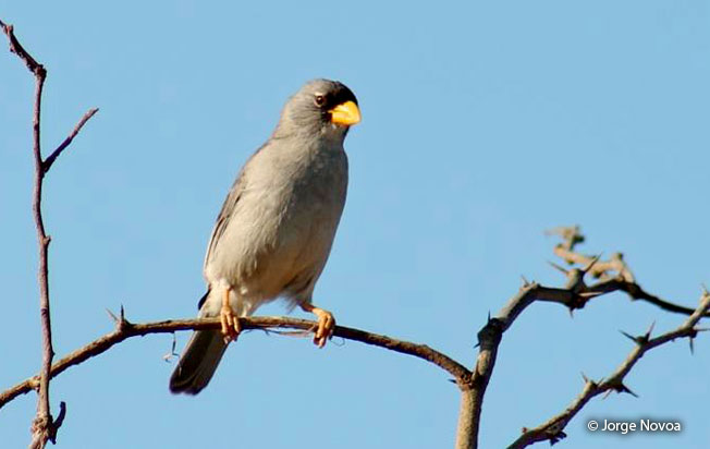 cinereous_finch