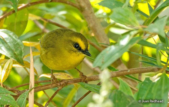 citrine-warbler
