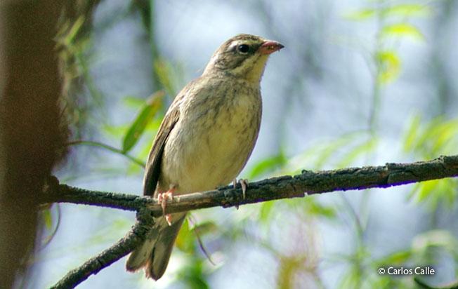 collared_warbling-finch