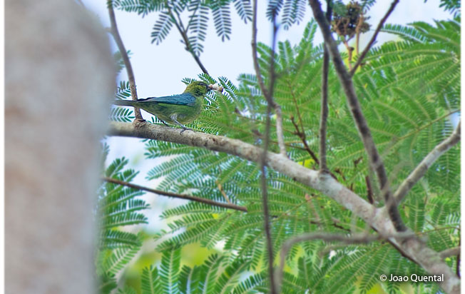 dotted-tanager
