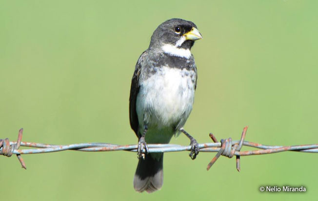 double-collared-seedeater