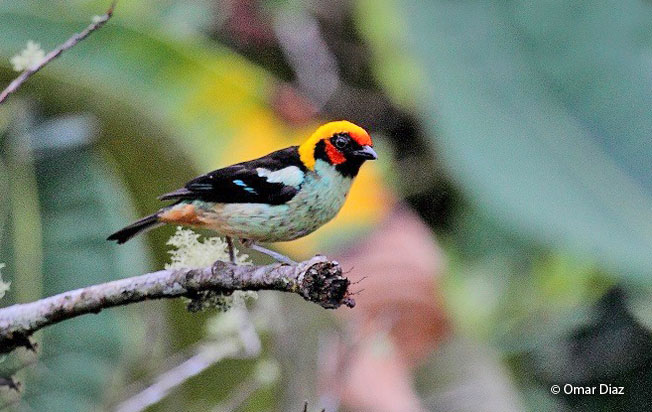 flame-faced_tanager