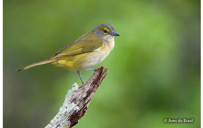 fulvous-crested_tanager