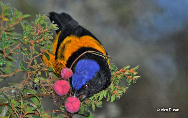 golden-backed_mountain-tanager