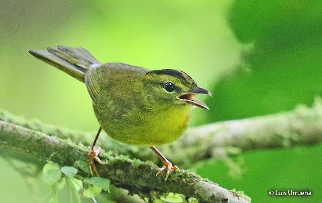 golden-bellied_warbler