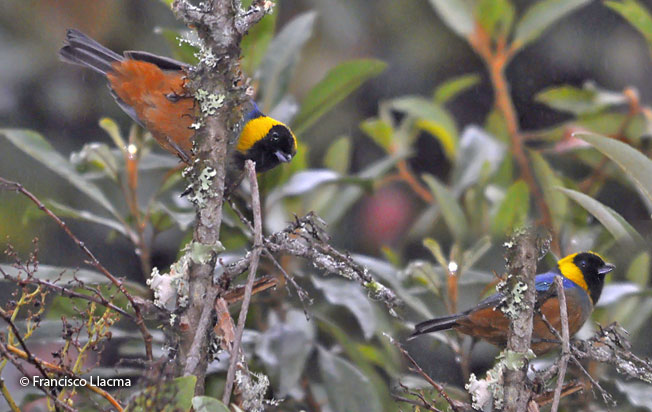 golden-collared_tanager