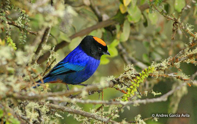 golden-crowned_tanager