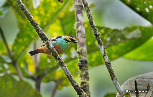 golden-eared_tanager