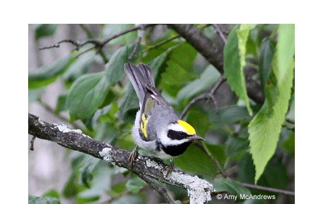 golden-winged-warbler
