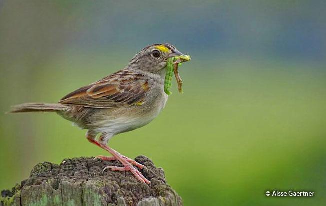 grassland-sparrow