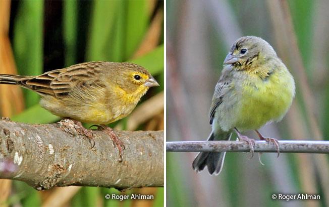 grassland_yellow-finch