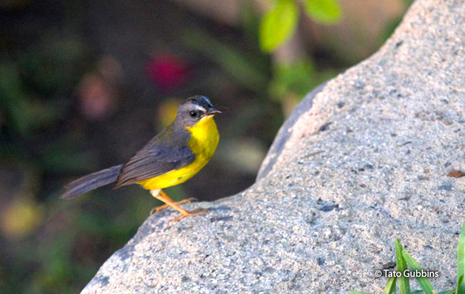 gray-and-gold_warbler
