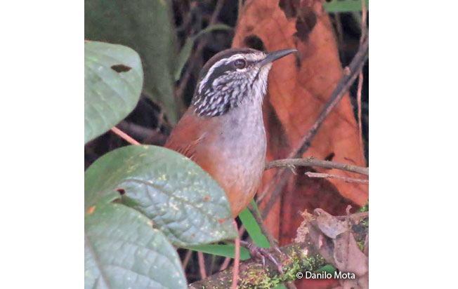 gray-breasted_wood-wren