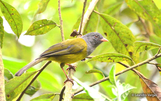 gray-hooded_bush-tanager