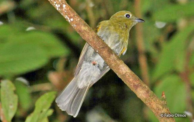 gray-tailed-piha