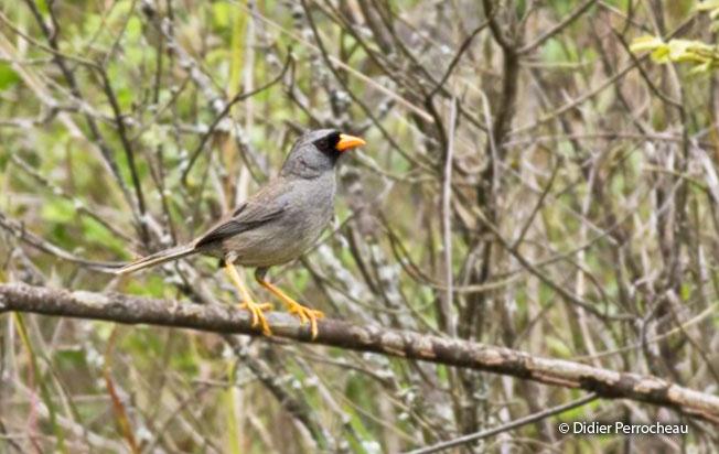 gray-winged_inca-finch