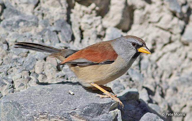 great-inca-finch