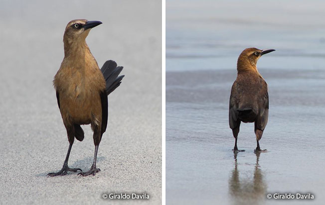 great-tailed_grackle