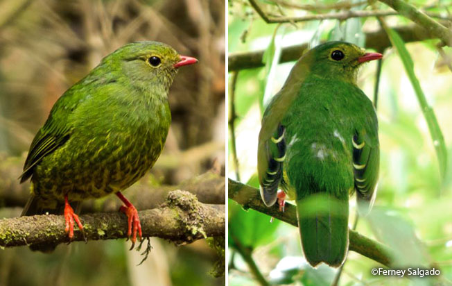 green-and-black-fruiteater