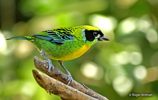 green-and-gold_tanager