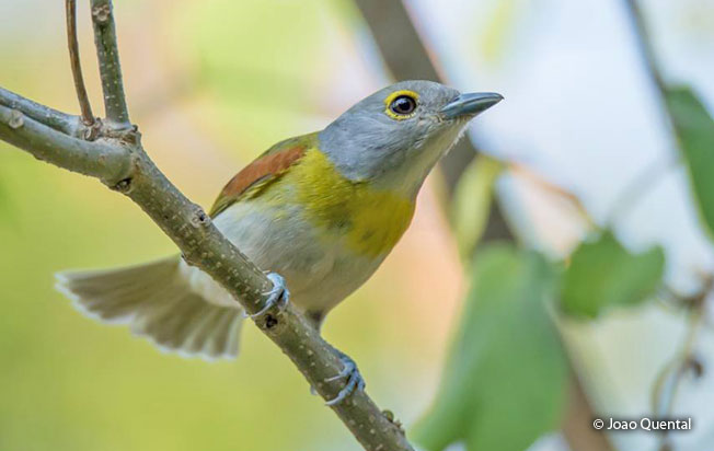 green-backed_becard