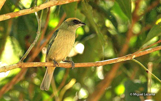 green-capped_tanager