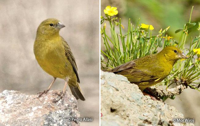 greenish_yellow finch