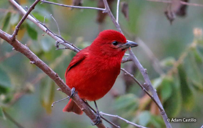 hepatic_tanager