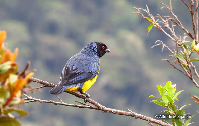 hooded_mountain-Tanager
