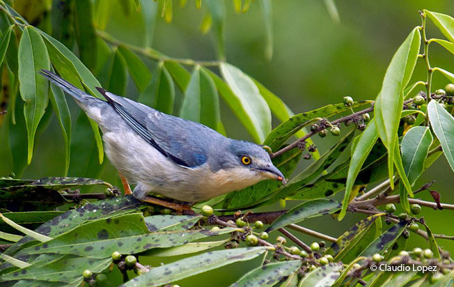 hooded_tanager