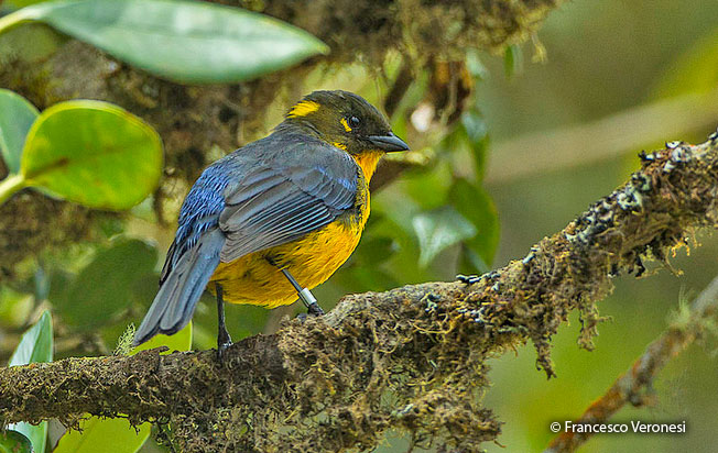 lacrimose_mountain-tanager