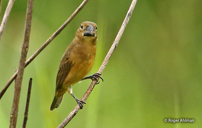large-billed_seed-finch