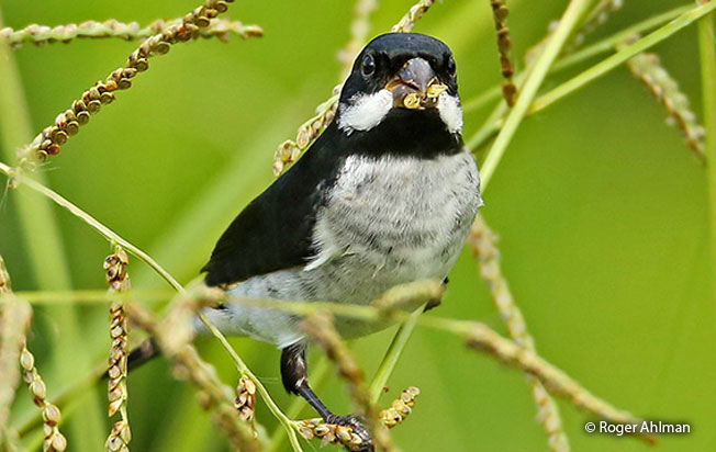 lesson's_seedeater