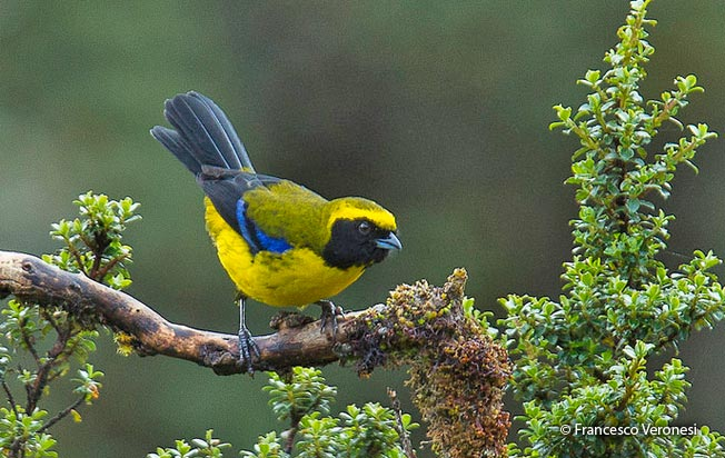 masked-mountain-tanager