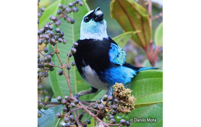 masked-tanager
