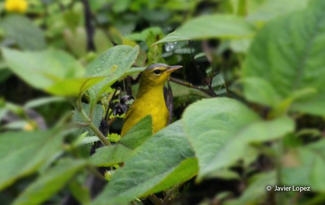 masked-yellowthroat