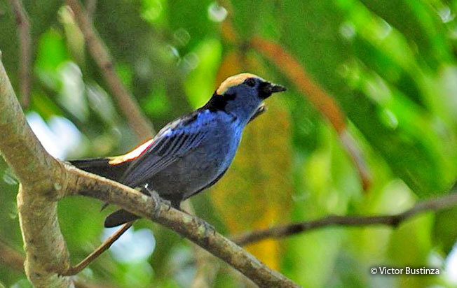 opal-crowned_tanager